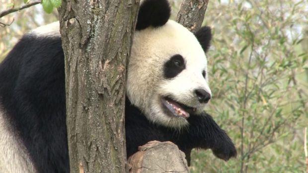 preview image for Tierische Neuigkeiten: Pandas sterben nicht aus